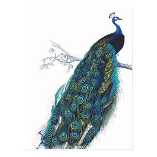 Pavo real azul con las plumas de cola hermosas postales