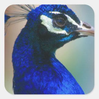 pavo real azul vivo pegatina cuadrada
