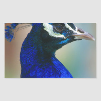pavo real azul vivo pegatina rectangular