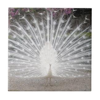 pavo real blanco azulejo cuadrado pequeño