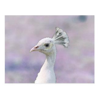 Pavo real blanco del albino contra la parte tarjeta postal