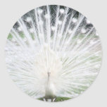 Pavo real blanco etiqueta