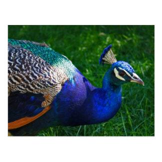 Pavo real colorido del parque zoológico de postal