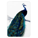 Pavo real colorido elegante azul del vintage rectangle magnet