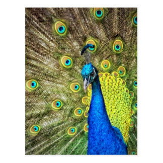 Pavo real colorido postal