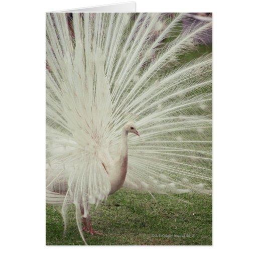 Pavo real del albino tarjeta