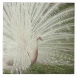 Pavo real del albino teja