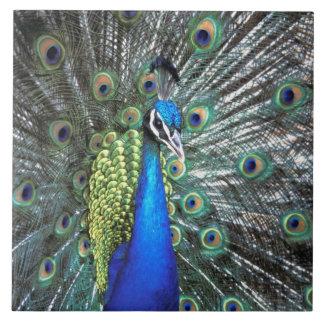 Pavo real hermoso que separa plumas coloridas azulejo cuadrado grande