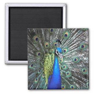 Pavo real hermoso que separa plumas coloridas imán de frigorífico