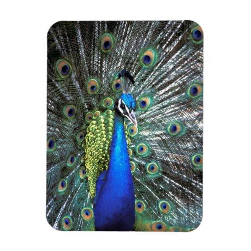 Pavo real hermoso que separa plumas coloridas imán flexible
