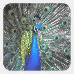 Pavo real hermoso que separa plumas coloridas pegatinas cuadradas