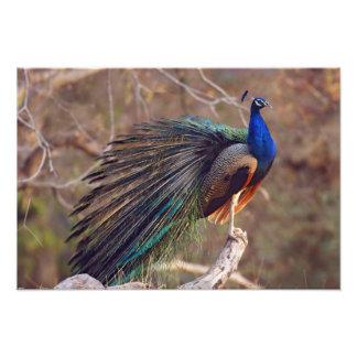 Pavo real indio con las plumas parcialmente abiert cojinete