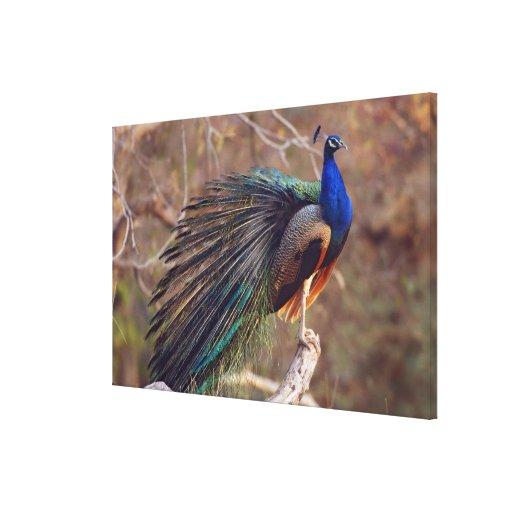 Pavo real indio con las plumas parcialmente abiert impresion de lienzo