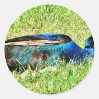 Pavo real masculino azul etiquetas redondas