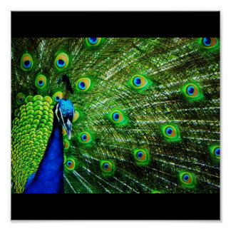 Pavo real impresiones