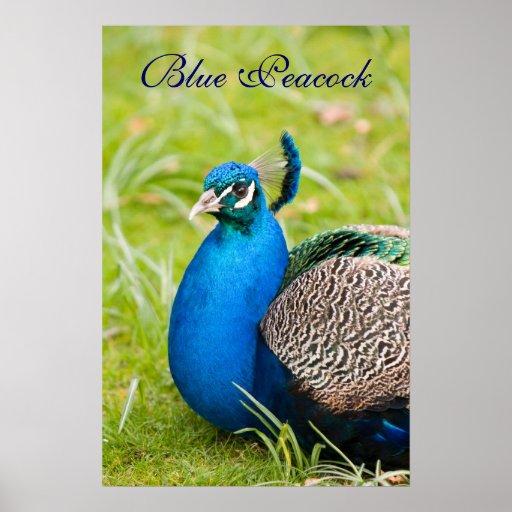 Pavo real, peafowl, poster del pájaro, idea del re