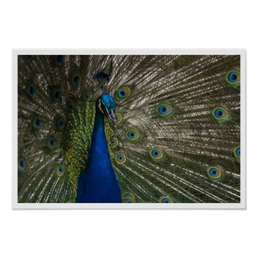 Pavo real posters