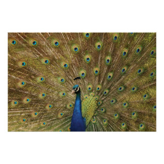 Pavo real Preening Impresiones