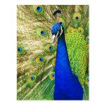 Pavo real que exhibe su plumaje colorido postal