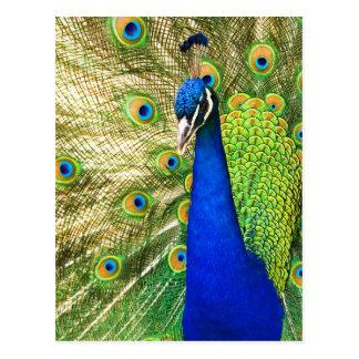Pavo real que exhibe su plumaje colorido postales