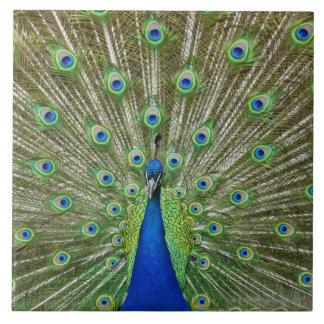 Pavo real que muestra sus plumas, como parte de a azulejo cuadrado grande