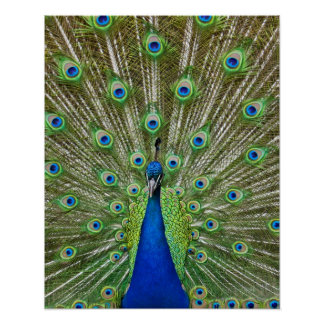 Pavo real que muestra sus plumas, como parte de a poster