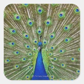 Pavo real que muestra sus plumas colcomania cuadrada