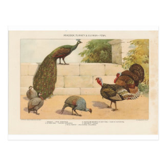Pavo real, Turquía, y aves de Guinea Postales