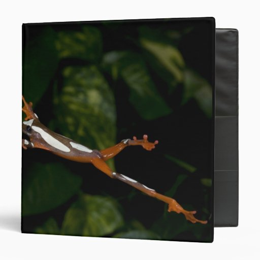 "Payaso Treefrog, leucophylatta del Hyla, nativo a Carpeta 1 1/2"""