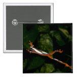 Payaso Treefrog, leucophylatta del Hyla, nativo a Pin Cuadrada 5 Cm