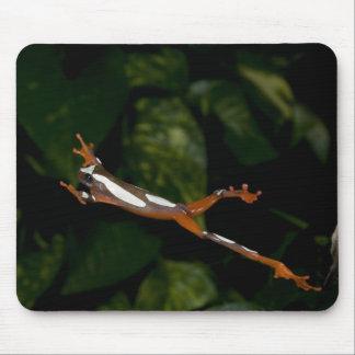 Payaso Treefrog, leucophylatta del Hyla, nativo a Tapete De Raton