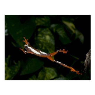 Payaso Treefrog, leucophylatta del Hyla, nativo a Tarjeta Postal
