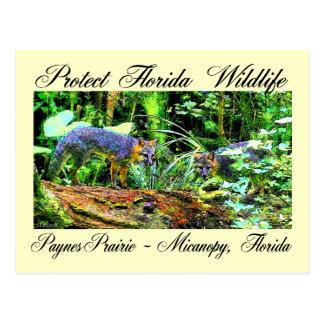 paynes prairie fox post card
