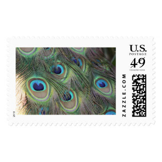 Pea Fowl Feathers Postage
