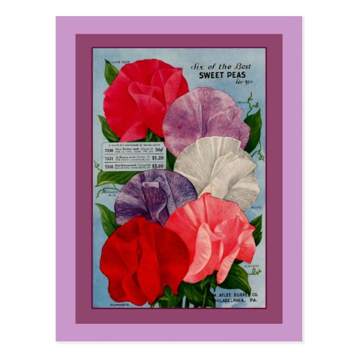 Pea Plant Vintage Seed Packet Art Postcard