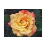 Peace Rose Beautiful Pink and Yellow Floral Canvas Print
