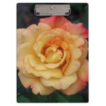 Peace Rose Beautiful Pink and Yellow Floral Clipboard