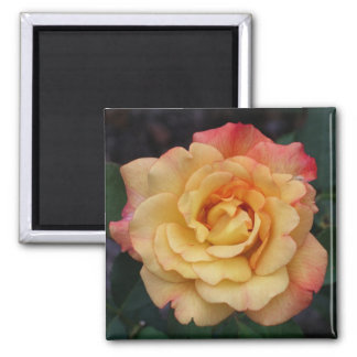Peace Rose Beautiful Pink and Yellow Floral Magnet