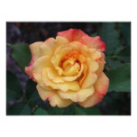 Peace Rose Beautiful Pink and Yellow Floral Photo Print