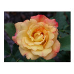 Peace Rose Beautiful Pink and Yellow Floral Postcard