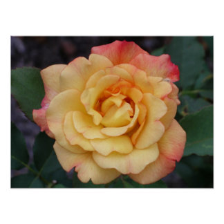 Peace Rose Beautiful Pink and Yellow Floral Poster