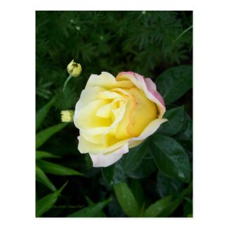 PEACE ROSE BUD POSTCARD