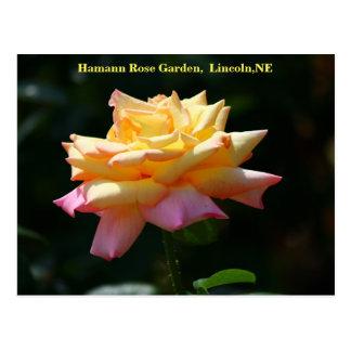 Peace Rose Postcard HRG 500n 2014