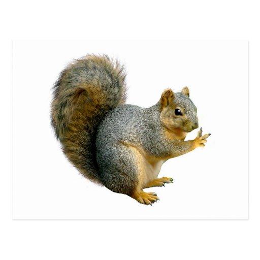 Peace Squirrel Postcards