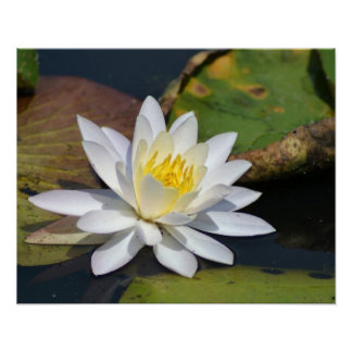 Peaceful Lotus for a space that needs Zen Poster