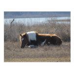 Peaceful pony postcard. postcard