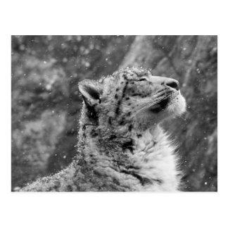 Peaceful Snow Leopard Postcard