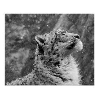 Peaceful Snow Leopard Poster