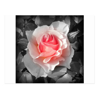 Peach Bliss Rose Postcard