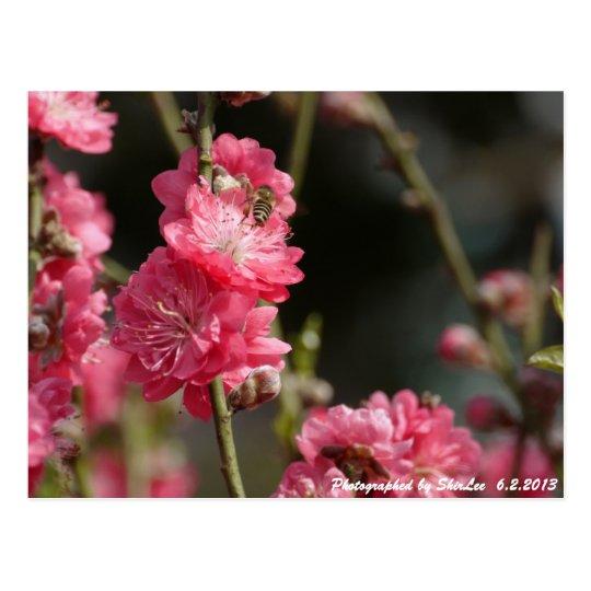 Peach Blossom 2 Postcard